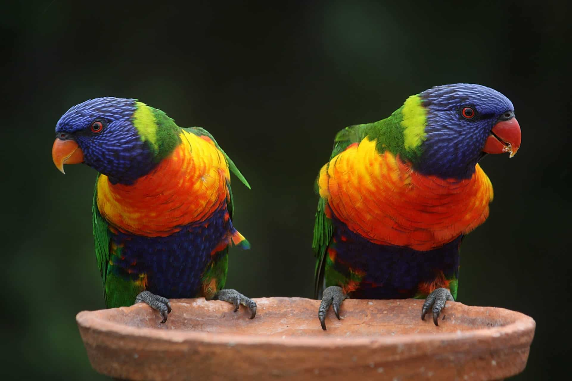 two birds rainbow-lorikeet-parrots-australia-rainbow-37833